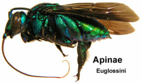 The orchid bee, Apinae euglossini, has an extremely long proboscis that it uses to reach nectar deep inside of orchid flowers.