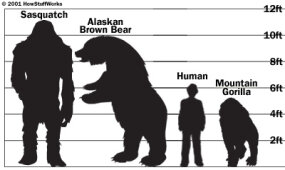 According to numerous accounts of sasquatches and yetis, the creatures tower over humans and apes. Typically, they are said to be 9 to 11 feet (around 3 m) tall.