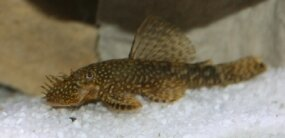 Bristslenose Catfish -- Ancistrus temmincki