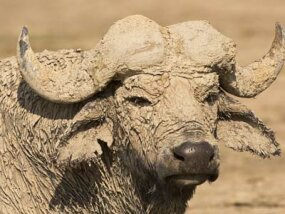 An African buffalo covered in mud