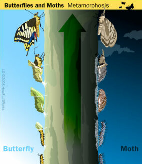 Most butterflies pupate as a naked chrysalis. Many moths spin silken cocoons to pupate.