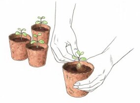 "Transplant your seedlings to individual containers when they've grown a few ""true leaves."""