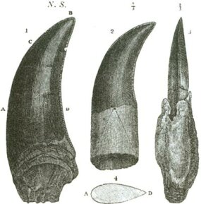 Teeth of a Megalosaurus, from a book by William Buckland