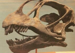 Apatosaurus skull