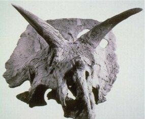 Arrhinoceratops brachyops skull