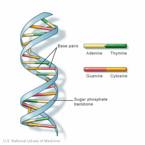 DNA has a spiral staircase-like structure. The steps are formed by the nitrogen bases of the nucleotides where adenine pairs with thymine and cytosine with guanine.