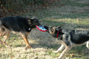 These German Shepherds exhibit playful, puppy-like behavior in a game of tug o' war.