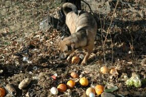 Milo, an example of a proto-dog, checks out a compost pile