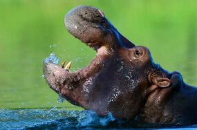 hippopotamus, hippo, pablo escobar