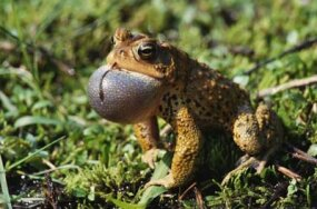 Frogs call by inflating their vocal sacs.