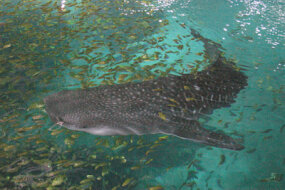 A whale shark swimming with a school of golden trevally. Backstage tours at the aquarium give visitors a chance to see the sharks from above.