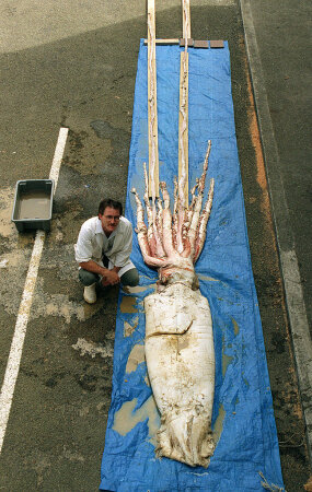 dead giant squid on dock with man next to it