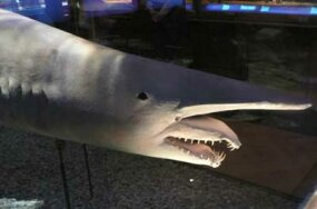 Goblin sharks are often called the ugliest shark species because of their elongated snout.