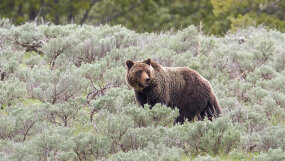 grizzly bear in a field