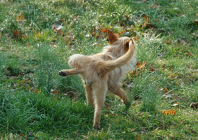 Male dogs often lift their legs when urinating to mark their territory.