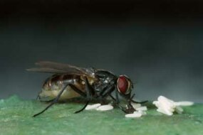 A female housefly lays her eggs.