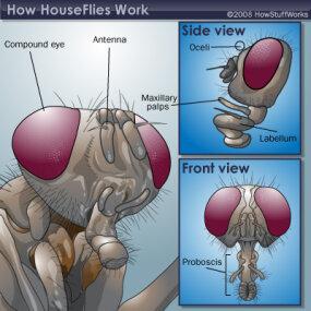 Housefly head