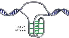 i-motif, cell
