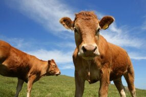 Cows often harbor E.coli bacteria in their intestines.