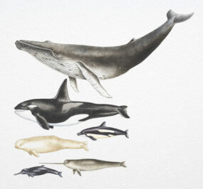 From top to bottom: humpback whale, killer whale, Pacific white-sided dolphin, beluga, narwhal and Ganges River dolphin.