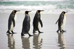 A group of king penguins strutting their stuff.