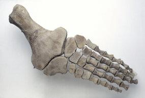 close-up of plesiosaur foot bones