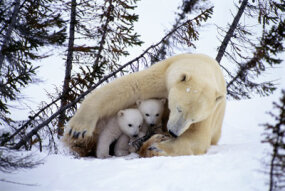 Polar bear mothers, like this one in Manitoba, stay with their cubs for about two years.
