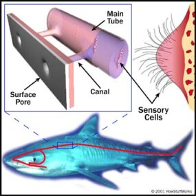 Water flows through the lateral line systems. Vibrations in the water stimulate sensory cells in the main tube, alerting the shark to prey and predators.