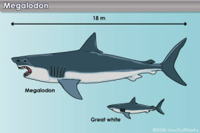 The megalodon compared to a typical great white