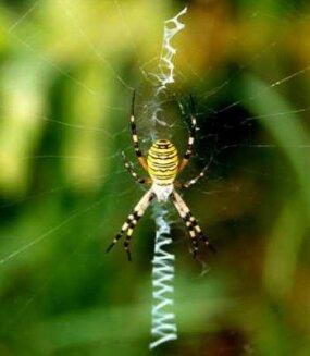 Argiope bruennichi, an orb web spider