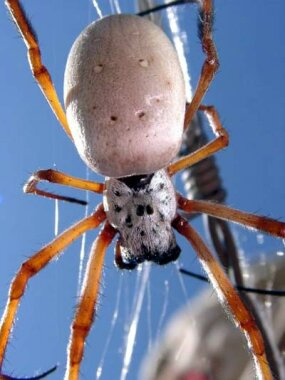 A female golden orb spider in its web