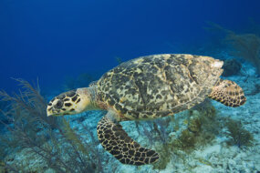 A hawksbill sea turtle swims above the seabed. Its flat shell helps it glide through the water.