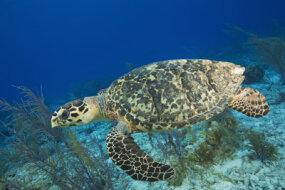 A hawksbill sea turtle swims