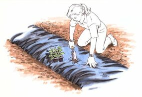 """To plant your seedlings or seeds in landscape fabric mulch, cut an """"X"""" at the planting site."""