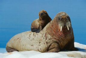 A mother walrus gives her baby a lift.