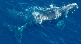 "Right whales, so named because they were the ""right whale to hunt,"" are among the most endangered whales today. Researchers estimate there are only a few hundred left in the world."