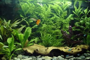 Fish owners have to be cautious and careful before transitioning a new member into the tank.