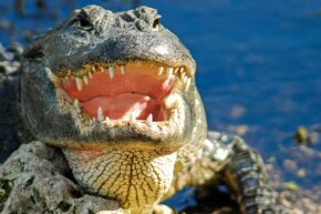 A regular-size alligator like this one is plenty menacing, so Two-toed Tom would be terrifying.