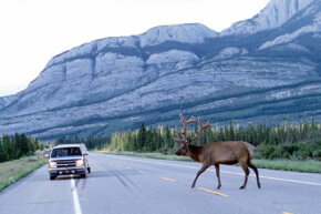 An elk crosses in front of a vehicle on a road that runs through Jasper National Park in Alberta, Canada.