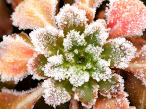This plant is keeping its shape and color -- even while covered in ice. See pictures of famous gardens.