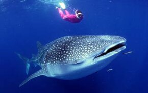 The whale shark, the world's largest fish, is pretty harmless.
