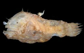 After much debate, the male anglerfish is named the world's smallest fish.