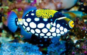 The triggerfish may be one of the best fish dancers with forward and backward moves.