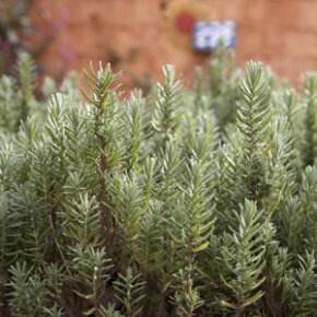 Rosemary, with its abundant, tiny leaves, is a fine-textured plant.