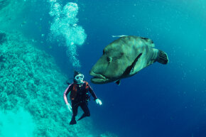 A deep-sea diver watches a humphead wrasse (Cheilinus undulatus) while scuba diving in the Red Sea.