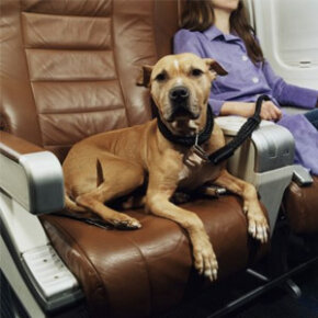 Flying with your dog is usually a little more complicated than what's pictured here. In fact, Fido doesn't always get to travel in the cabin with you. See more pet pictures.