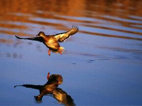 Mallard duck landing in pond.