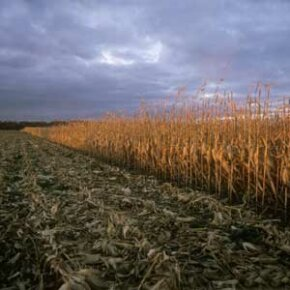 Will corn be our savior or ultimate destroyer? See more corn pictures.
