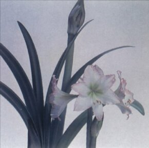 Buy your amaryllis in the early winter and it will quickly bloom.