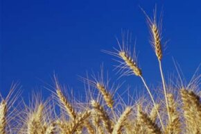 The differences in American and European wheat come down to the amount of gluten and selenium in each.
